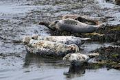 Zeehonden langs de kust