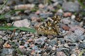 ? vlinder