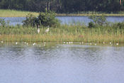 Kraanvogels in Björnnäsets naturreservat