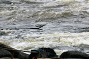 Witvis vangen in de Kukkolankoski-stroomversnelling