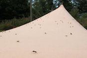 Vliegende mieren op de tent