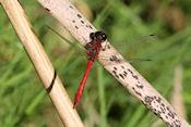 Libelle in natuurreservaat Hjälstaviken