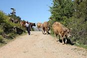 Boer onderweg met zijn koeien bij Tella