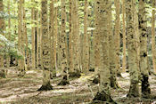Bijzonder bos in Valle de Ordesa