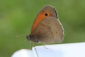 Deze vlinder was niet bij ons weg te slaan