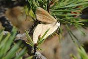 Nog onbekende vlinder
