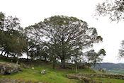 Mooie boom bij Keltische nederzetting Citânia de Briteiros